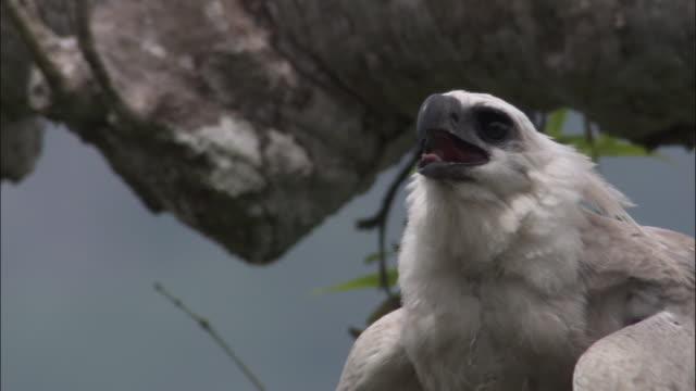 stockvideo's en b-roll-footage met harpy eagle (harpia harpyja) juvenile in tree, panama - harpij arend