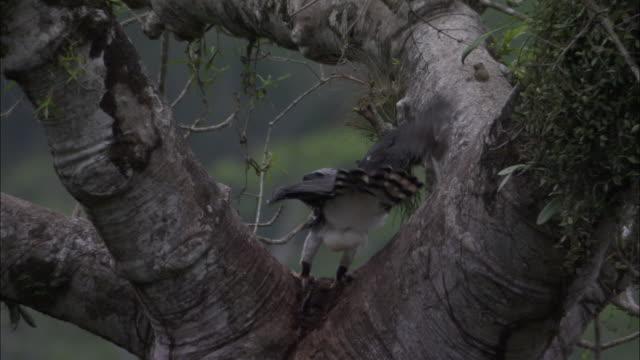 stockvideo's en b-roll-footage met harpy eagle (harpia harpyja) juvenile snatches prey from adult, panama - harpij arend