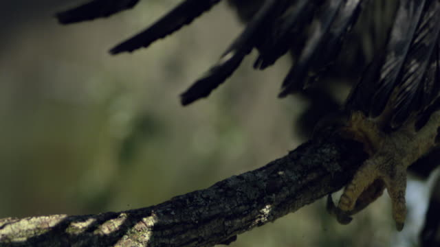 slo mo, cu, harpy eagle (harpia harpyja) landing on branch close up of claws, wisconsin, usa - klaue stock-videos und b-roll-filmmaterial