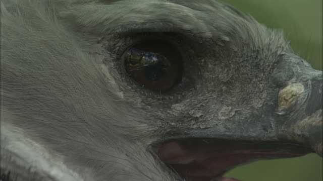 stockvideo's en b-roll-footage met harpy eagle (harpia harpyja) looks around and calls in forest, panama - harpij arend