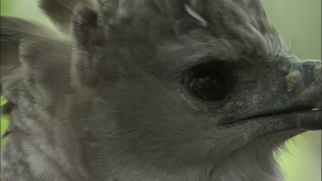 stockvideo's en b-roll-footage met harpy eagle (harpia harpyja) looks around in forest, panama - harpij arend