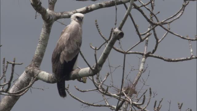 stockvideo's en b-roll-footage met harpy eagle (harpia harpyja) peers around in tree, panama - harpij arend