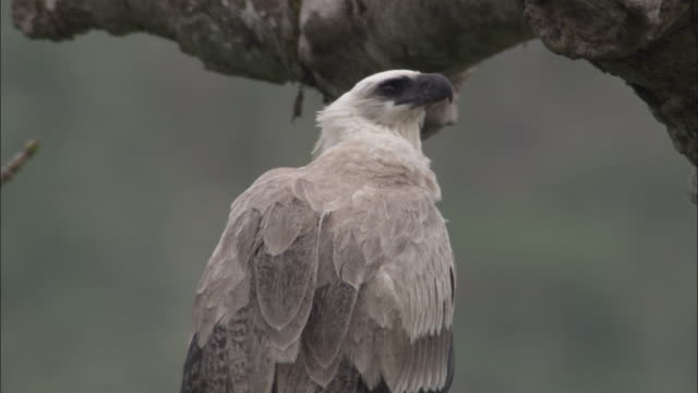 stockvideo's en b-roll-footage met harpy eagle (harpia harpyja) perched in tree, panama - harpij arend