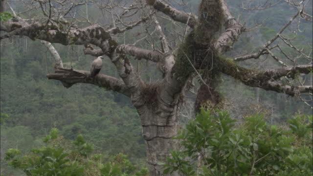 stockvideo's en b-roll-footage met harpy eagle (harpia harpyja) perched near nest in tree, panama - harpij arend