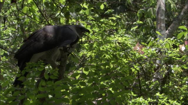stockvideo's en b-roll-footage met harpy eagle (harpia harpyja) takes off in forest, panama - harpij arend