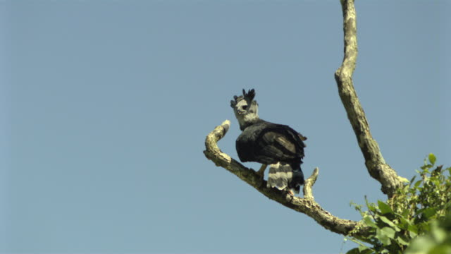 SLO MO, MS, LA, Harpy Eagle (Harpia harpyja) taking off from branch against blue sky, Wisconsin, USA