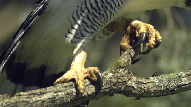 slo mo, cu, harpy eagle (harpia harpyja) taking off from branch close up of claws, wisconsin, usa - klaue stock-videos und b-roll-filmmaterial