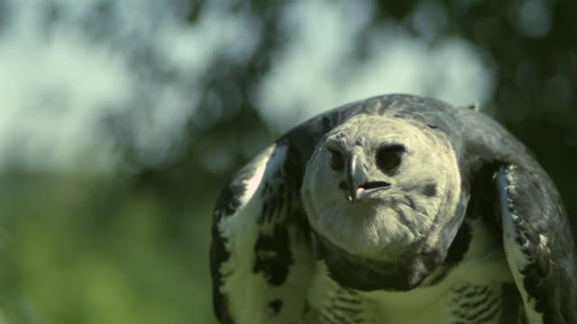 stockvideo's en b-roll-footage met slo mo, cu, selective focus, harpy eagle (harpia harpyja) taking off, wisconsin, usa - harpij arend