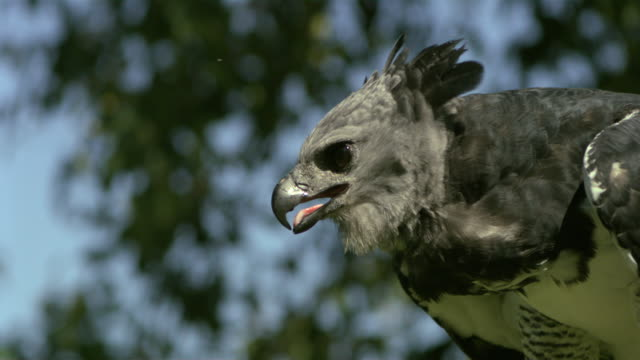 stockvideo's en b-roll-footage met slo mo, cu, harpy eagle (harpia harpyja) taking off, wisconsin, usa - harpij arend