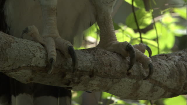 harpy eagle (harpia harpyja) talons on branch, panama - branch plant part stock videos and b-roll footage