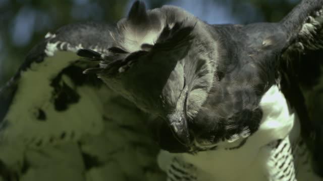 stockvideo's en b-roll-footage met slo mo, cu, harpy eagle (harpia harpyja), wisconsin, usa - harpij arend