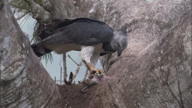 stockvideo's en b-roll-footage met harpy eagle (harpia harpyja) with prey in tree, panama - harpij arend