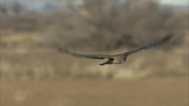 harrier hawk in flight - habicht stock-videos und b-roll-filmmaterial