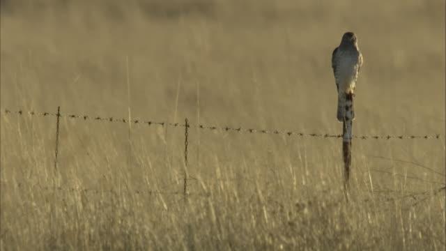 harrier hawk on fence post - bird of prey stock videos & royalty-free footage