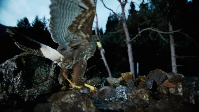 slo mo of harris hawk catching fish in a stream - hawk bird stock videos & royalty-free footage