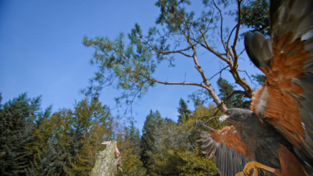 slo mo of  harris hawk landing on a pole - spread wings stock videos & royalty-free footage