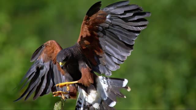slo mo of harris hawk landing on wooden pole - spread wings stock videos & royalty-free footage
