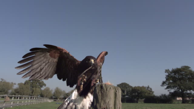 slo mo harris hawk (parabuteo unicinctus) lands on post and eats bait, uk - 動物の翼点の映像素材/bロール