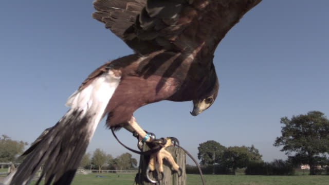 SLO MO Harris Hawk (Parabuteo unicinctus) lands on post and eats bait, UK