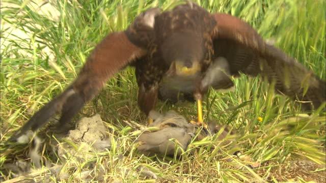a harris hawk picks at a bird carcass. - 獲物を狩る点の映像素材/bロール