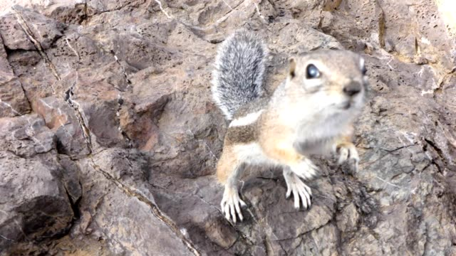 harris's antelope squirrel - roditore video stock e b–roll