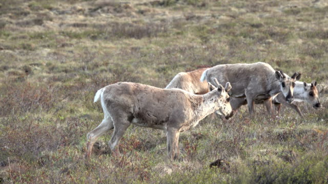 Hart River Woodland caribou herd Yukon subarctic tundra Tombstone Territorial Park Ogilive Mountains