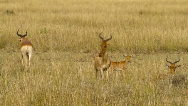 Hartebeest in the savanna