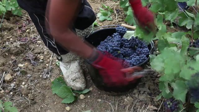 harvest and winemaking at taittinger vineyard and cellars place nicaise in reims, grand est, france on thursday, august 2018. - agricultural activity stock videos & royalty-free footage
