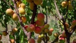Harvest apricot in the farm garden