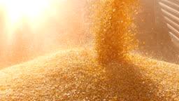 Harvest corn slow motion
