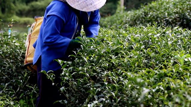 vídeos de stock e filmes b-roll de colheita de chá verde - escolha