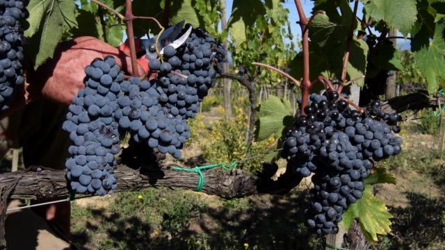 harvest in montepulciano vineyards, tuscany, italy - tuscany stock videos & royalty-free footage