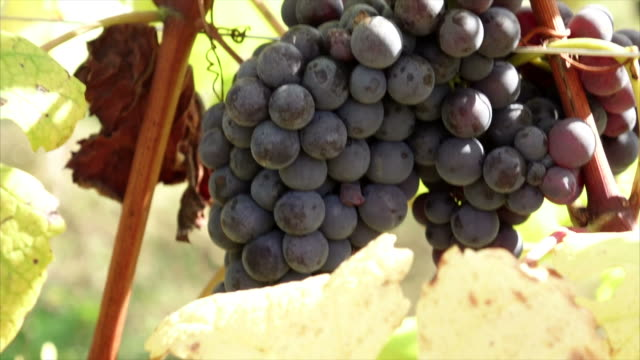 harvest leaves bunch of grapes sun leaf - grape leaf stock videos and b-roll footage