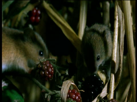 harvest mice climb over blackberries - brambleberry stock videos & royalty-free footage