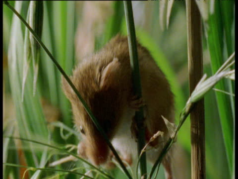 harvest mouse climbs up oat stalk and sniffs grain, uk - small stock videos & royalty-free footage