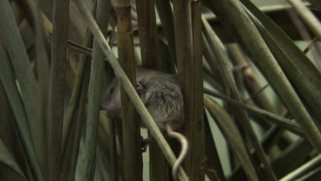Harvest Mouse is building a nest with reed
