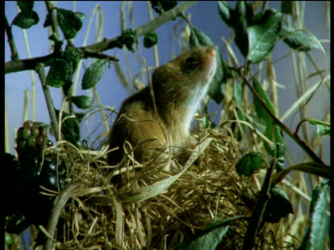 harvest mouse sits atop nest, sniffs air then washes, devon - brambleberry stock videos & royalty-free footage