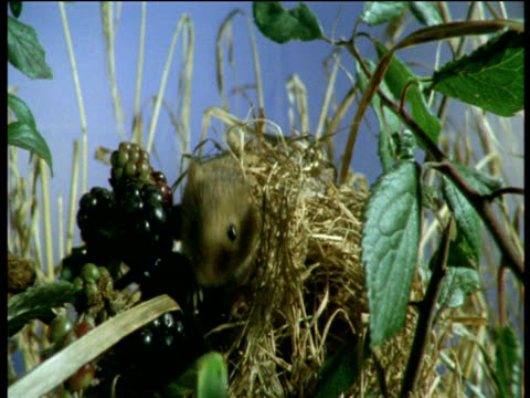 harvest mouse stands on blackberries and sniffs air, devon - brambleberry stock videos & royalty-free footage