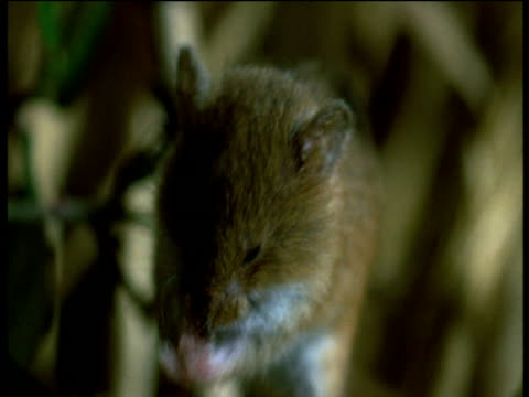 harvest mouse washes face - small stock videos & royalty-free footage