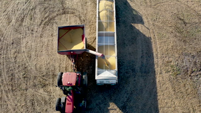harvest of soybeans in the field at the bardole son's ltd farm on october 14 2019 in rippey iowa the 2020 iowa democratic caucuses will take place on... - soybean stock videos and b-roll footage