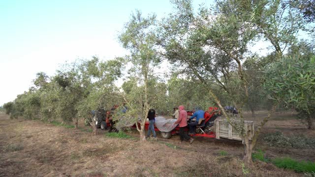 harvest olives - middle east stock videos & royalty-free footage
