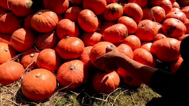 vídeos y material grabado en eventos de stock de granja cosecha de calabaza. - calabaza no comestible