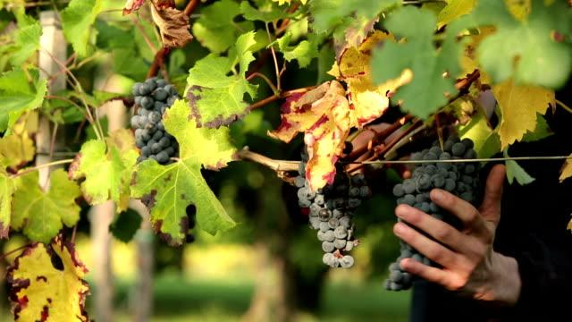 harvest red grape