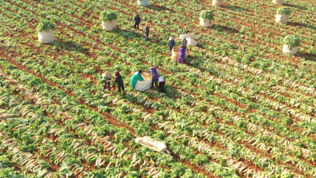 harvest scene of radish field / pyeongchang-gun, gangwon-do, south korea - 収穫する点の映像素材/bロール