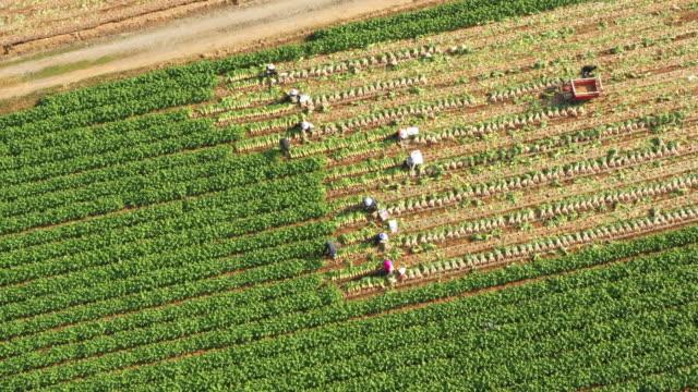vidéos et rushes de harvest scene of radish field / pyeongchang-gun, gangwon-do, south korea - radis