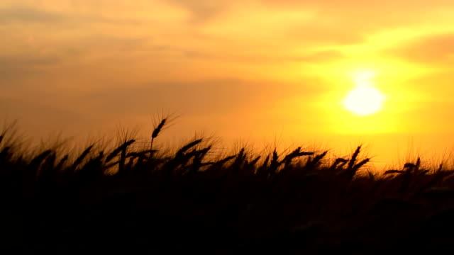Récolte de blé au coucher du soleil