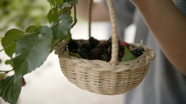harvest time, picking mulberry - fruit stock videos & royalty-free footage
