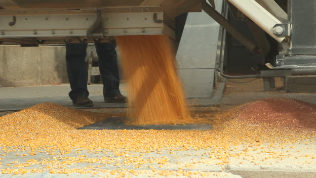 harvested corn unloading from semi into elevator - cereal plant stock videos & royalty-free footage