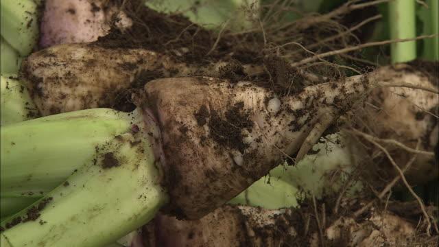 harvested nozawana, leaf vegetable, nagano, japan - root vegetable stock videos and b-roll footage