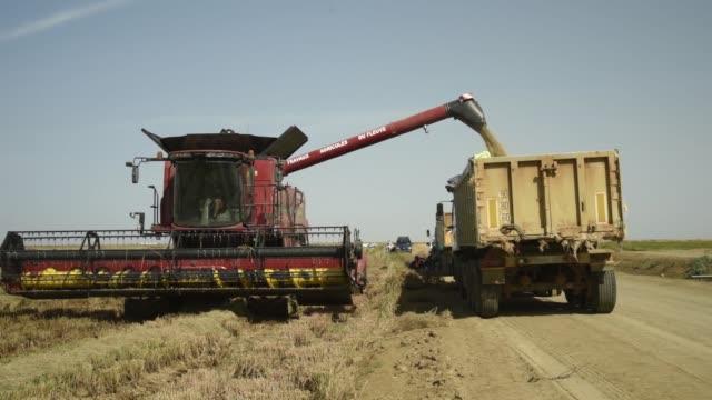 harvested rice grain is loaded into a truck from a combine harvester at a compagnie agricole de saintlouis du senegal farm in saintlouis senegal on... - saint louis bildbanksvideor och videomaterial från bakom kulisserna